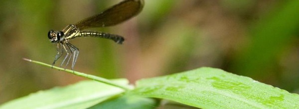 Green Schoool-BALI-dragonfly02