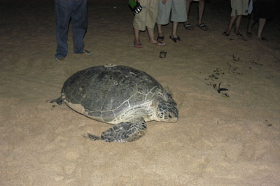 Sea Turtle heading back to sea at night-photo lia cyntia-www.geocities.com.penyu02