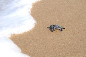 Ujung Genteng-turtles