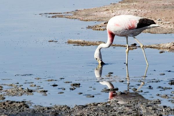 Atacama Desert-CHILE-Flamingo Chileno