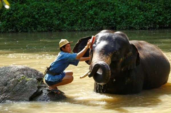 Elephant Camp Chiang Mai-Mahout Training Course-brushing an elephant clean 1