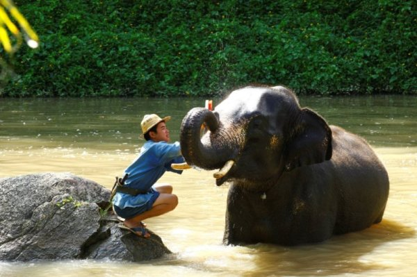 Elephant Camp Chiang Mai-Mahout Training Course-brushing an elephant clean 2