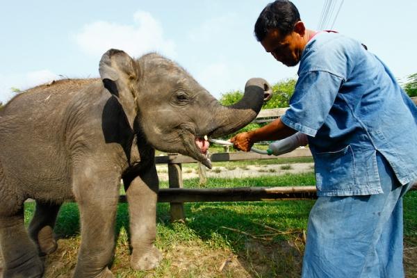 Elephant Camp Chiang Mai-Mahout Training Course-nursing baby elephant