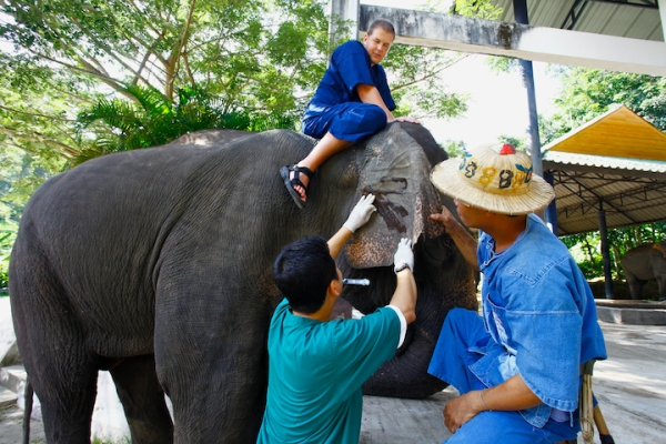 Elephant Camp Chiang Mai-Mahout Training Course-taking blood sample for elephant's medical check up