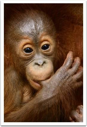 Orang Utan-Bukit Lawang Rehab Ctr-Gunung Leuser National Park-North Sumatra