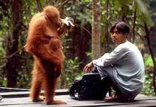 Orang Utan-Bukit Lawang Rehab Ctr-One of orangutans is being taken care at Bukit Lawang