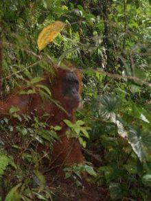 Orang Utan-Bukit Lawang Rehab Ctr-Orang Utan in the wild