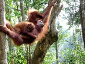 Orang Utan Volunteer-Another Mother and baby photo in the rainforest. (Photo Chris Bannister)