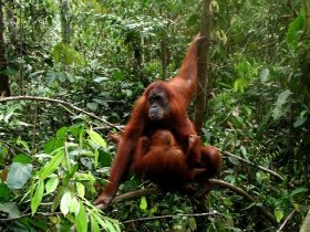 Orang Utan Volunteer-Mother and baby in the jungle (Photo Chris Bannister) 2