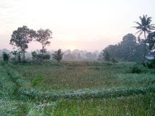Orang Utan Volunteer-Rice field, view from the volunteer accommodation (Photo Ivona Foitova)
