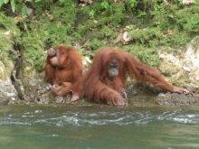 Orang Utans by riverside in Bukit Lawang
