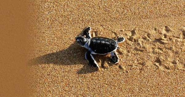 Peponi Hotel-Lamu Island-KENYA-Turtle Conservation Progr